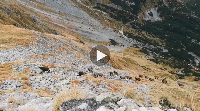 Stado kozic przechodzi przez grań. Niesamowity widok w Tatrach Zachodnich (FILM)