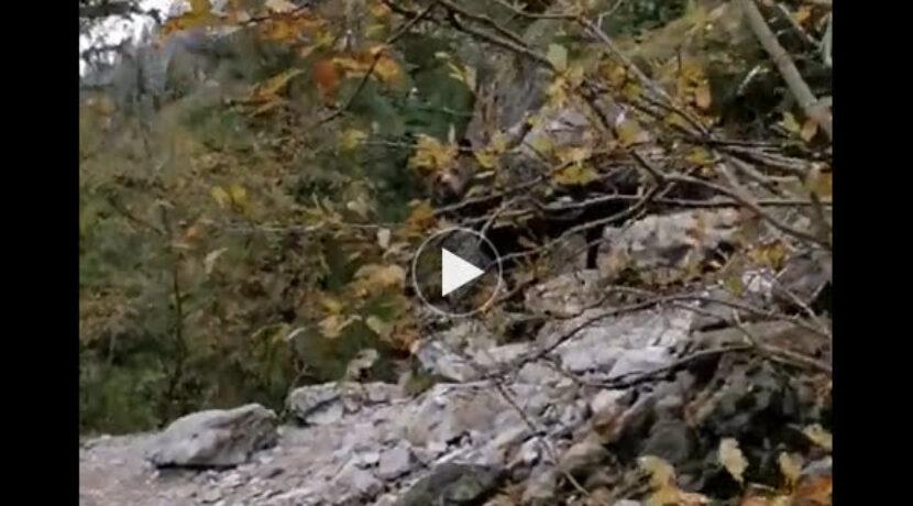 Niedźwiedź w Dolinie Kościeliskiej – nagranie z innej kamery (FILM)