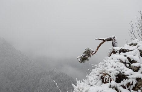 Słynna sosna na Sokolicy ponownie uszkodzona