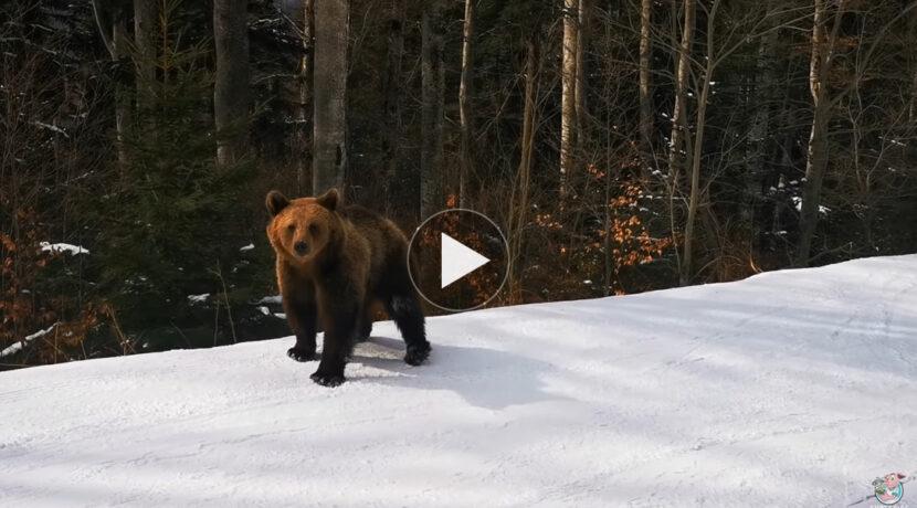 Bliskie spotkanie z niedźwiedziem na stoku narciarskim (FILM)