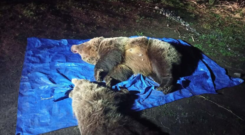 W Tatrach Słowackich zastrzelono dwa niedźwiedzie