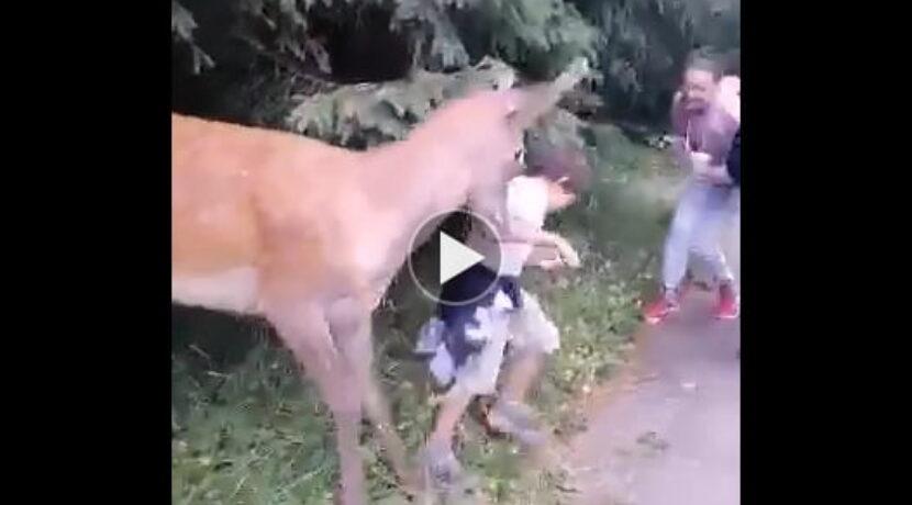 Jeleń zaatakował dziecko na drodze do Morskiego Oka (FILM)