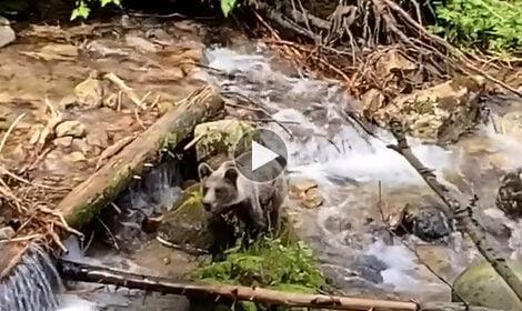 Niezwykłe spotkanie przy szlaku. Niedźwiedź bierze kąpiel w tatrzańskim potoku (FILM)