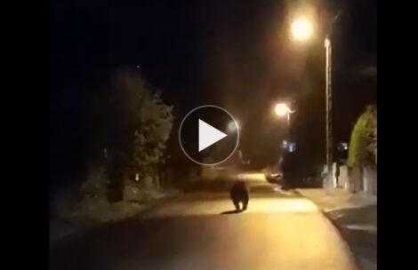 Niedźwiedź w podhalańskiej miejscowości. Nietypowe nocne spotkanie (FILM)
