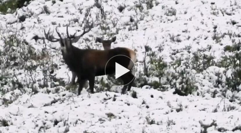 Tak brzmi rykowisko w Tatrach. Niezwykłe dzisiejsze nagranie (FILM)